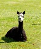 Black Alpaca in a field Stock Photos