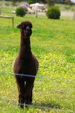 Black alpaca Stock Images