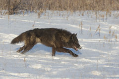 Black alpha timber wolf. Leading the pack Royalty Free Stock Photography