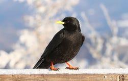 Black alpine jackdaw Stock Photography