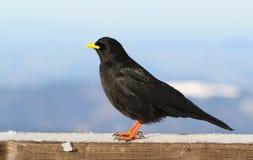 Black alpine Pyrrhocorax graculus Royalty Free Stock Photography