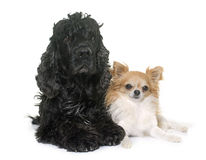 Black american cocker and chihuahua Royalty Free Stock Images