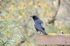 Black American Crow, Georgia, USA Royalty Free Stock Photos