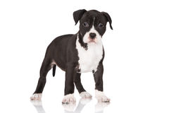 Black American staffordshire terrier puppy Royalty Free Stock Photos