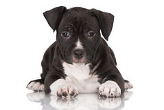 Black American staffordshire terrier puppy Royalty Free Stock Image