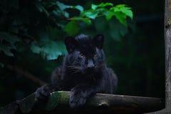 Black Amur leopard cub Stock Photos