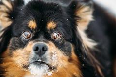 Free Black And Brown Colors Pekingese Pekinese Peke Dog Stock Images - 48371974