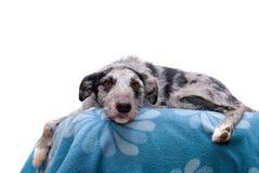 Free Black And Grey Lurcher Dog Royalty Free Stock Photo - 17887345
