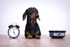 Free Black And Tan Dog Breed Dachshund Sit At The Floor With A Bowl And Alarm Clock, Cute Small Muzzle Look At His Owner And Wait For F Stock Photography - 139759812