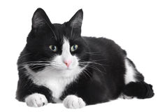 Free Black And White Cat Royalty Free Stock Photography - 26027867