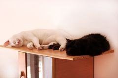 Free Black And White Cats Rest And Sleep In Living Room Of Apartment. Two Dear Sweet Female Cats Enjoy At Home On Wooden Cabinet. Stock Photography - 160832382