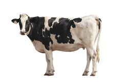 Free Black And White Cow Image  Isolated On The White Background Stock Images - 178574734