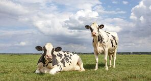 Free Black And White Cows, Frisian Holstein, In A Pasture One Cow Standing Upright The Other One Lying Down Chewing And Mooing Under A Stock Images - 217978694