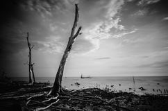 Black And White Image Of Dead Mangrove Tree Surrounding By Sea Royalty Free Stock Photo