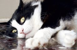 Black And White Norwegian Forest Cat Lying Down On The Floor Royalty Free Stock Photo