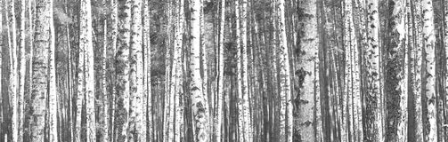 Free Black And White Panorama With Birches In Retro Style. Royalty Free Stock Photos - 100838348