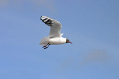 Free Black And White Seagull Royalty Free Stock Images - 893259