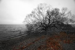 Free Black And White Sole Bald Tree On Waterfront In Winter. Leafless Branches And Fallen Red Leaves On Pebble Beach In Countryside Stock Photos - 125486753