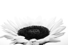 Black And White Suflower On A White Background Royalty Free Stock Photos