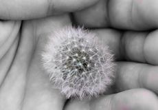 Free Black And White. The Embodiment Of Fragility. Dandelion  Held In The Palm Of A Man Stock Images - 151223574
