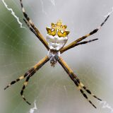 Black And Yellow Argiope Spider On Web Royalty Free Stock Images