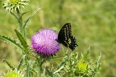 Free Black And Yellow Butterfly On Texas Purple Thistle Flower Royalty Free Stock Photo - 157872465