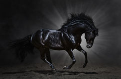 Black Andalusian stallion gallops. On dark background Royalty Free Stock Photos