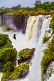 The black Andean condors above the water. Waterfalls Iguazu on the Argentina. Picturesque basaltic ledges form the waterfalls. The black Andean condors are stock photography
