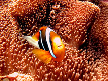 Black anemone fish Royalty Free Stock Photo