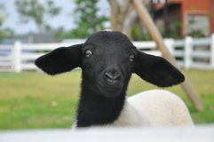 Black and white sheep Royalty Free Stock Image
