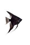 Black angelfish in profile on white background Stock Photos
