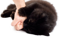 Black angry cat biting man's hand Royalty Free Stock Photo
