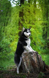 Black Angry Husky dog breed from the old stump. Scowled dog breed Siberian Husky standing on hind legs Royalty Free Stock Photography