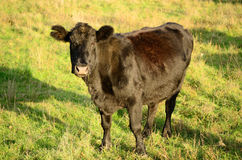 Black Angus Royalty Free Stock Photo