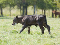 Black Angus Royalty Free Stock Image