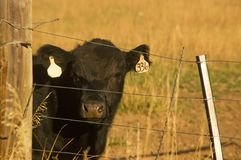Black Angus Beef Cow in Field Royalty Free Stock Photo