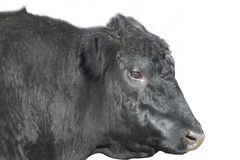 Black Angus Bull face isolated with path. Black angus bull face in profile with path for illustration Stock Photography
