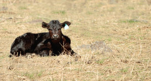 Black Angus calf Royalty Free Stock Images