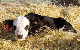 Black angus calf laying in the straw. A brand new baby calf with a white face on the ranch royalty free stock photos