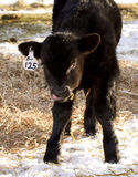 Black angus calf with tongue sticking out. A brand new baby calf is sticking out its tongue at me on the ranch royalty free stock photo
