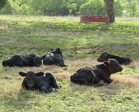 Black angus calves in meadow or pasture