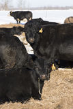 Black Angus Cattle. Black Angus beef cattle in a Minnesota Feed lot during the winter Stock Photos