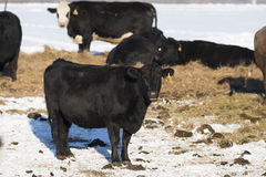 Black Angus Cattle. Black Angus beef cattle in a Minnesota Feed lot during the winter Royalty Free Stock Photo