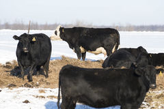 Black Angus Cattle. Black Angus beef cattle in a Minnesota Feed lot during the winter Royalty Free Stock Photography