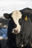 Black Angus Cattle. Black Angus beef cattle in a Minnesota Feed lot during the winter Stock Image