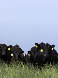 Black Angus cattle behind electric fence - vertical Royalty Free Stock Images