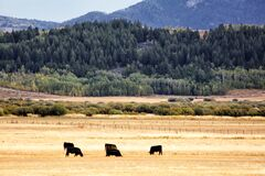 Free Black Angus Cattle Grazing In A Pasture Stock Photo - 177663010