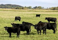 Black Angus Cattle on a green Pasture. Black Angus cattle feeding on a green pasture stock photos