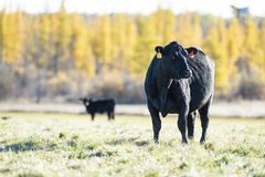 Free Black Angus Cattle In A Pasture In Late Autumn Royalty Free Stock Photo - 132792715