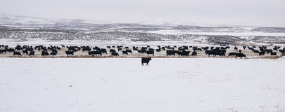 Black Angus Cattle Livestock Winter Range. Cattle graze the feed lot after a fresh snow Stock Photography